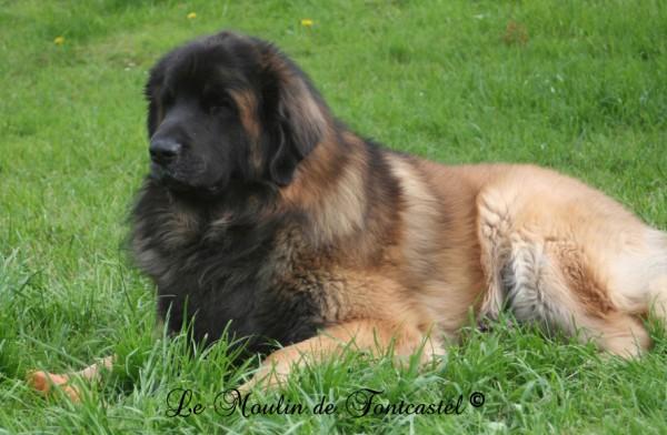 club canin leonberg